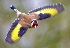 Finally caught one of these in flight. It's more a question of anticipation than reactions . even at you only get two frames off before they're gone! Bird Gif, Goldfinch, Mundo Animal, Exotic Birds, Bird Feathers, Pigeon, Beautiful Birds, Parrot, Fish
