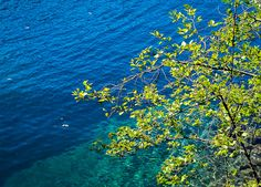 Lake Crescent | Red Alder tree growing along the Spruce Railroad Trail with beautiful gemlike clear turquoise water.