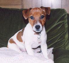 Album du Jack-Russell Terrier - Jack-Russell Terrier - groupe 3 : chiens et chiots                                                                                                                                                                                 Plus