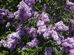 The beautiful smell of spring......  Lilacs