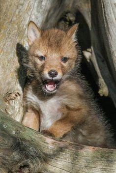 Red Fox Cub by Mark Wells