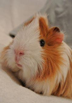 The Guinea Pig Daily: Mat