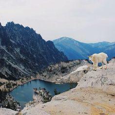 Goat's really cooperating with the photographer.Enchantment Lakes, WA. Thanks to @hannahtakesthestairs_ on Instagram.