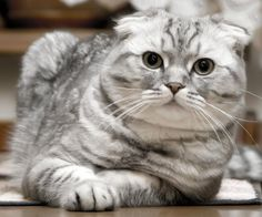 Infos pratiques sur la race de chat Scottish Fold ...