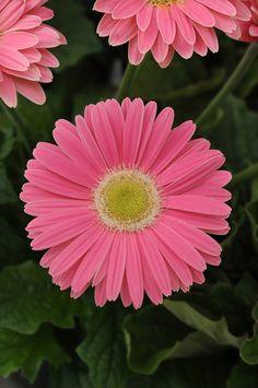 http://ngb.org/images/year_of/hi_res/Gerbera_Revolution_PinkGreenCenter-Ball.jpg