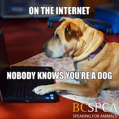 This sweet dog is named Cali (animal ID # 372124) and she currently in a foster home via the BC SPCA Kelowna Branch . Find out more about her by clicking her picture.