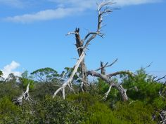 Yup, dead tree.  Nature center up in Hobe Sound