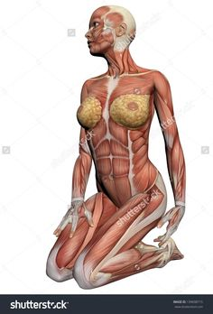 Female Anatomy Muscles Human Anatomy Female Muscles Made In 3d Software Stock Photo