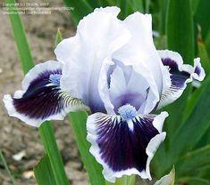 February Birth Flowers, Dwarf Iris, Aesthetic Plants, Night Flowers, Iris Garden, Mary Mary, Primroses, Vertical Gardens, Purple Iris