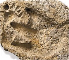 dinosaur and man footprints - Overlapping, produced while sediment was still soft