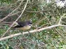 New Zealand fantail New Zealand, Birds, Animals, Animales, Animaux, Bird, Animal, Animais