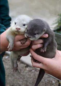 Baby Otters...