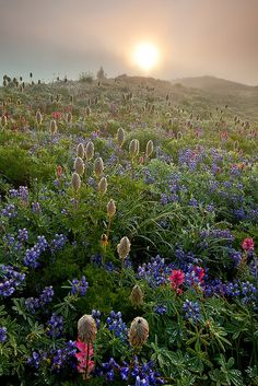 Mt. Ranier's seasonal wildflowers -- one of the most beautiful things I've ever witnessed