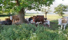 Hollandse koeien
