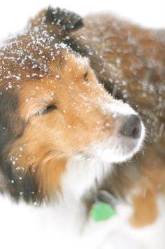 It's true: Shelties love winter! Brody is a little snow-dog.