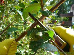 Koniec zimy i po zbiorach owoców - to terminy cięcia krzewów owocowych. Fot. Niepodlewam Plant Leaves, Tableware, Plants, Gardening, Dinnerware, Tablewares, Lawn And Garden, Plant, Dishes