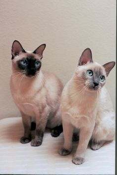 Tonkinese with their gorgeous eyes.