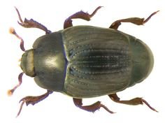 Family: Histeridae Size: 2-2.5 mm Distribution: Cosmopolitan Ecology: on animal and plant material Location: Germany, Bavaria, Upper Franconia, Schwarzenbach am Wald leg.det. U.Schmidt, 2004 Photo: U.Schmidt, 2008