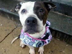 SAFE !  2/26/14  Manhattan Ctr P JAZMINE A0991814 Female wht/brwn pit mix 3 YRS STRAY 2/17/14  Painfully thin & pressure sores on her hip bones, feeding extra to help her gain wt. Sweet, affectionate girl! Perfect leash manners, walking by your side, likely housetrained. Super hugger & kisser, but a little shy.It would seem that she has not had the easiest life, and it's up to us to make it up to her. Her unconditional love in return will be worth all the effort. How big is your heart?