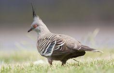 crested pigeon #PatrickBorgenMD