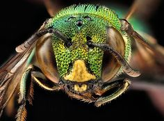 Macro photographs of bees - in pictures