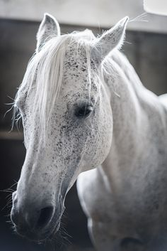 Koń czystej krwi arabskiej - Stado Ogierów w Sierakowie