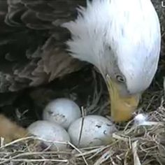 The Raptor Resource Project brings you live streaming video of the Decorah Bald Eagles from atop their tree at the fish hatchery in Decorah, Iowa. Check the eaglets at: www. The Eagles, Bald Eagles, All Birds, Little Birds, Birds Of Prey, Decorah Eagles, Decorah Iowa, Eagle Cam, Eagle Pictures