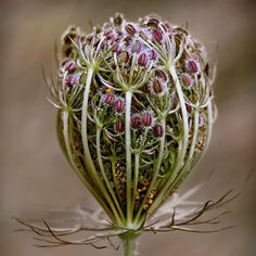 Great Expectations - Umbell seeds