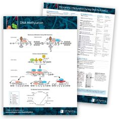 Key Signaling Pathways and Diagrams Dna Methylation, B Cell, Cell Growth, Alzheimers, Amino Acids, Pathways, Metabolism, Diagram, Paths