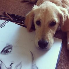 Oshie helping me Draw.Golden Retriver Sketching