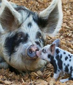 MUM, I LOOOOVE YOU   Turopolje pig  #by Fisherman01 on Flickr