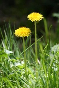 Apart from being an ornamental flowering plant (or to some, just a weed), dandelion is widely used as an amazing medicinal herb. Dandelion bears...