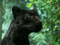 Black Panther - amazing animal