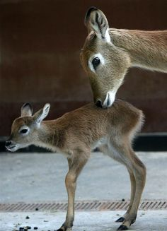 A 3-day-old Lechwe antelope stands next to its mother at the zoo in Berlin on February 10