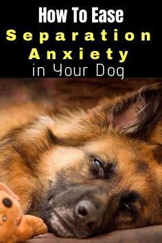 7 Easy Steps To Ease Separation Anxiety in Your Dog – Pets' Loyalty Dog Separation Anxiety, Dog Anxiety, Anxiety Tips, Guard Dog Training, Dog Training Tips, Potty Training, Leash Training, Crate Training, Cute Kittens