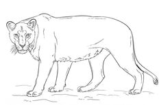 Female+Lion+Coloring+Pages   how to draw a lioness step 8 ...