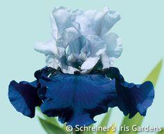 Best Bet | Tall Bearded Iris