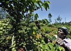 African coffee tree.  Vic already has a couple of these in her hothouse.  Wild coffee trees may become extinct.