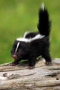 12 Baby Skunks That Are Just Too Stinkin' Cute! - I Can Has Cheezburger? 12 Baby Skunks That Are Just Too Stinkin' Cute! - World's largest collection of cat memes and other animals Amazing Animals, Animals Beautiful, Beautiful Birds, Cute Creatures, Beautiful Creatures, Woodland Creatures, Nature Animals, Animals And Pets, Farm Animals