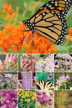 Butterfly garden 32 plant