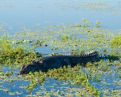 Saltwater or Estuarine Crocodile (Crocodylus porosus) on Ye , Reptiles, Saltwater Crocodile, Australia, Darwin, Day Tours, Habitats, Creatures, Stock Photos, Adventure
