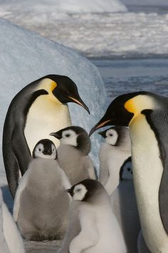 Penguin Animals, Penguin Love, Like Animals, Cute Little Animals, Baby Animals, March Of The Penguins, Baby Penguins, Fauna, Exotic Pets