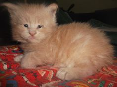 Rosa del deserto Cupido, Maine coon kitten, beautiful boy.