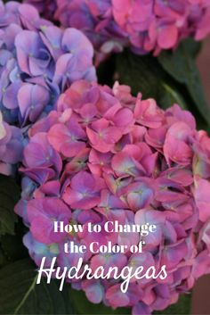 How to Change the Color of Hydrangeas: http://www.hgtvgardens.com/hydrangeas/how-to-change-hydrangea-color?soc=pinterest