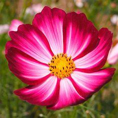 Cosmos: Embora o mais comum sejam capítulos florais com lígulas de cor uniforme, as lígulas das inflorescências do cosmos podem apresentar gradientes de cores - imagem original: Carl Lewis