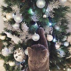 Mieze schmückt den Baum.Haha