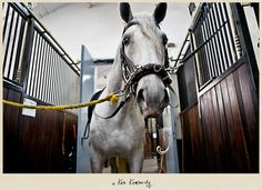 Another Lipizzaner horse at the Spanish Riding School...  More love! <3 <3  Photo taken by:  Ken Kaminesky