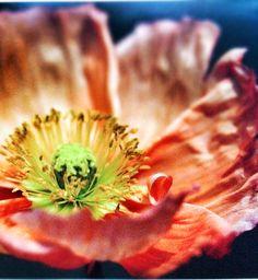 Poppy | Center of Flower