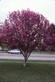 Gladiator Crabapple Tree. Just bought one!! Beautiful :)