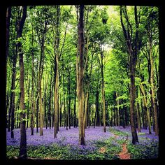 Amazing bluebells in micheldever woods today